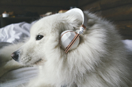 Close-up of Pomeranian wearing headphones and sitting on bed - CAVF30474