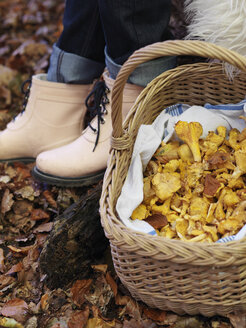 Basket full of chanterelle mushrooms - FOLF02826