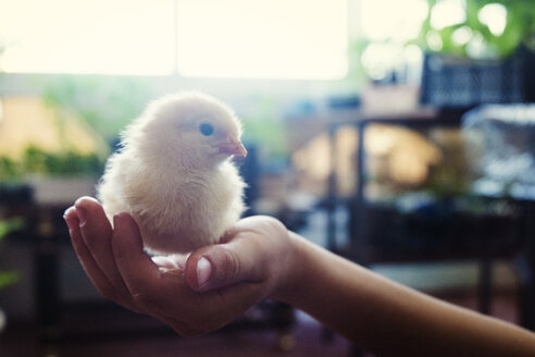 Cropped image of boy holding baby chicken in plant nursery - CAVF31132