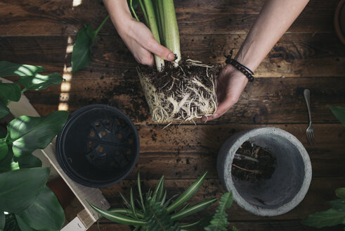 Woman repotting a peace lily - SKCF00357