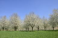 Germany, Baden-Wuerttemberg, Cherry trees in meadow - RUEF01829