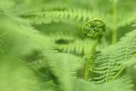 Fern frond rolled out, close up - RUEF01844