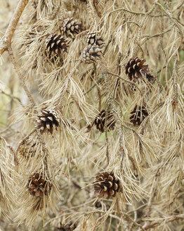 Pine cones on tree - FOLF05446