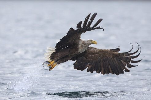 White-tailed eagle with a fish in its talons - FOLF05512