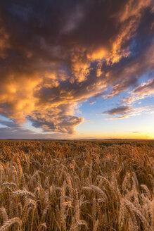 United Kingdom, East Lothian, wheat field at sunset - SMAF00999