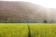 Idyllic view of oilseed rape field by mountain in foggy weather - CAVF31448