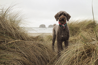 Portrait of poodle standing on shore amidst grass at Cape Lookout State Park - CAVF31681