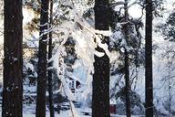 Snow covered trees - FOLF06487