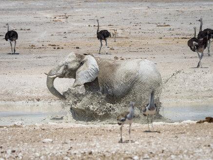 Africa, Namibia, Etosha National Park, Elefant running into water, mudbath, Loxodonta Africana - RJF00785