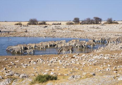 Africa, Namibia, Etosha National Park, plains zebras at waterhole, Equus quagga - RJF00788
