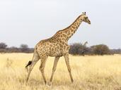 Africa, Namibia, Etosha National Park, Giraffe, Giraffa camelopardalis - RJF00794