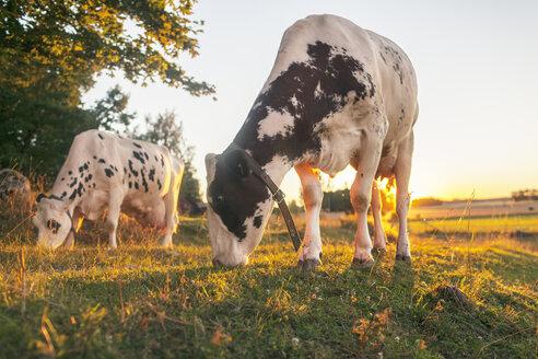 Cows grazing in field - FOLF07315