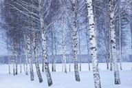 Bare trees of winter landscape - FOLF07378