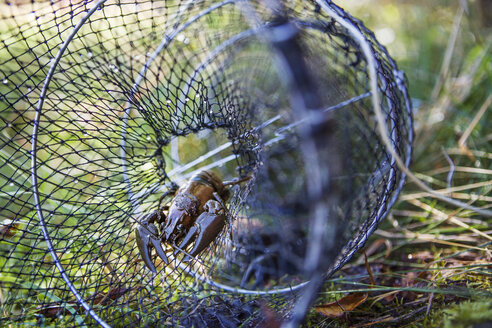 Crayfish caught in fishing net on grass - FOLF07456