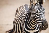 Close-up portrait of zebra at national park - CAVF33650