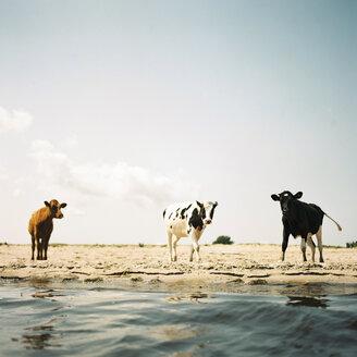 Three cows on beach - FOLF07902