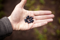 Cropped image of hand holding blueberries - CAVF33946