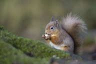 Red squirrel eating - MJOF01475