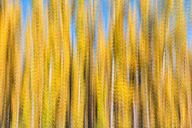 Spain, Wicker cultivation in Canamares in autumn, blurred - DSGF01698