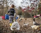 Boy feeding ducks - CAVF35097