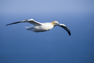 Scotland, flying Northern gannet against blue sky - MJOF01481