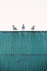 Norway, Lofoten Islands, Ballstad, three seagulls standing on a roof - WVF01068