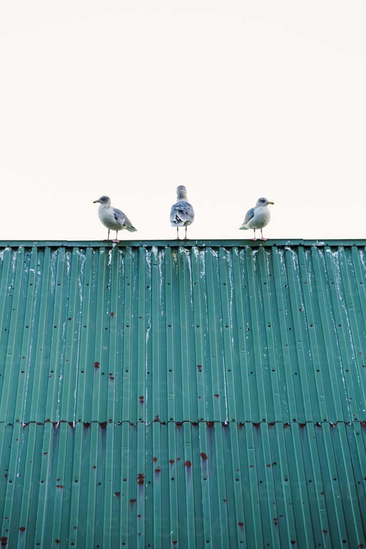 Norway, Lofoten Islands, Ballstad, three seagulls standing on a roof - WVF01068 - Valentin Weinhäupl/Westend61