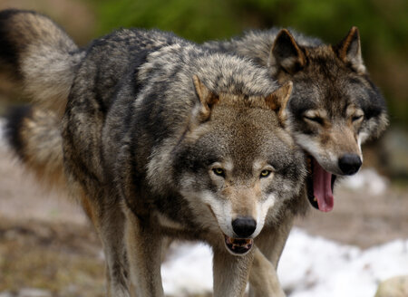 Closeup on two wolves - MASF00317
