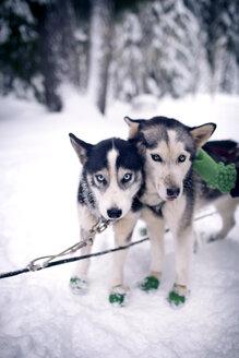 Portrait of siberian huskies - CAVF35305
