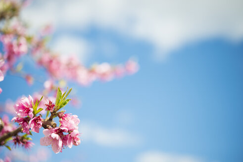Pink peach blossoms against sky, close-up - SKCF00408