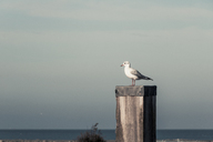 Germany, East Frisia, Seagull sitting on wooden pole - DWIF00905