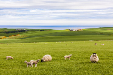 Scotland, Aberdeenshire, Flock of sheep at the coast near Crobie - WDF04561