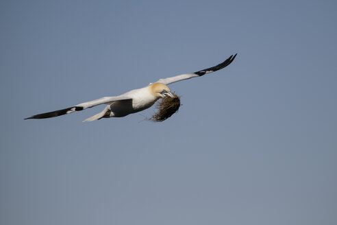 Scotland, flying Northern gannet with nesting material - MJOF01485