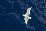 Flying seagull, top view - MAMF00005