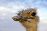 Portrait of ostrich - WEF00436