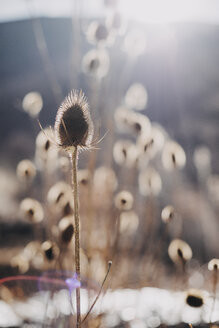 Withered thistle - OCAF00172