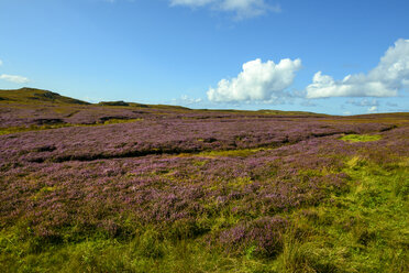 United Kingdom, Scotland, Highland, Sutherland, Caithness, flowering heather near Strathy Point - LBF01903
