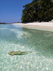 Maledives, Ross Atoll, lagune with sardines and hunting blacktip reef sharks - AMF05688