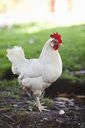 Side view of hen standing on field - MASF02868