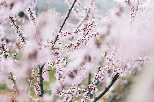 Spain, Lleida, Cherry blossoms - OCAF00210