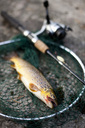 High angle view of brown trout with fishing rod on net - MASF03056