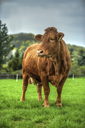 Germany, Dairy cow standing on pasture - PAF01807