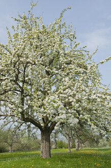 Germany, blossoming apple trees - CRF02777