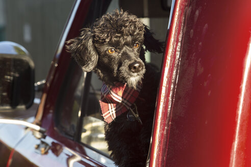 Dog looking out through pick-up truck window on sunny day - CAVF37776