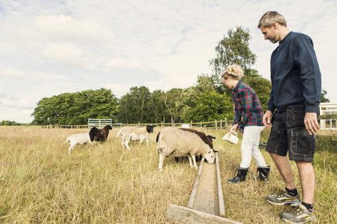 Female farmer feeding sheep while standing besides man at farm - MASF03634