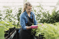 Gardener checking leaves of potted plants in greenhouse - MASF03637