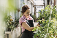 Female gardener working on potted plants in greenhouse - MASF03643