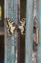 Painted blue wood, butterfly - CRF02779