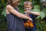 Siblings collecting pumpkins in basket at yard - CAVF38399