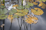 Water lilies floating on pond after rain - MASF04576